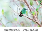 snowy bellied hummingbird ... | Shutterstock . vector #796046563
