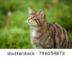 the scottish wildcat  or...   Shutterstock . vector #796054873
