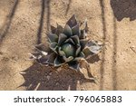 agave plant view from above...   Shutterstock . vector #796065883
