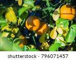 oranges hanging from tree...   Shutterstock . vector #796071457