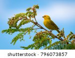 close up of wild canary... | Shutterstock . vector #796073857