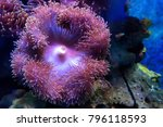 Small photo of Purple Beadlet Anemone or Actinia equina in water