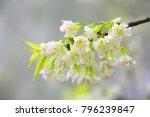beautiful cherry blossom  ...   Shutterstock . vector #796239847