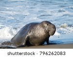 male elephant seal on a beach... | Shutterstock . vector #796262083