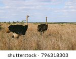 A Male And Female Ostrich...