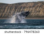 sohutern right whale ... | Shutterstock . vector #796478263