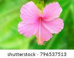 one big hibiscus pink flower... | Shutterstock . vector #796537513