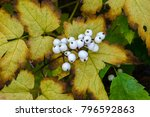 Small photo of Actaea rubra f. neglecta in autumn