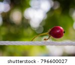 Ant carry red fruit on white...