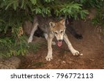 Small photo of Two Grey Wolf Pups (Canis lupus) Cavort Under Tree - captive animals