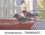 male house finches feeding  ...   Shutterstock . vector #796804057