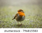 robin redbreast also known as a ... | Shutterstock . vector #796815583
