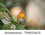 robin redbreast   european... | Shutterstock . vector #796815613