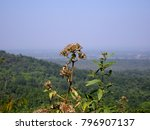 Small photo of Aged brown Ageratina adenophora eupatory sticky snakeroot crofton weed flower selective focus on foreground with hill forest blue sky horizon aerial landscape view background from mountain top peak