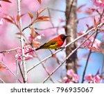 mrs. gould's sunbird  blue...   Shutterstock . vector #796935067