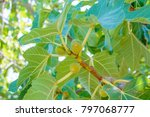 Figs Ripening On A Branch In A...