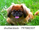 Pekingese Dog Tongue Out In...