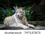 White Tiger  Bleached Tiger