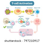 a t cell  or t lymphocyte  is a ... | Shutterstock .eps vector #797210917