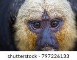 close up of white face saki... | Shutterstock . vector #797226133