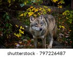 concentrated wolf in autumn. | Shutterstock . vector #797226487