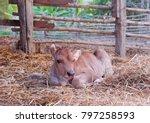 The Cute Brown Calf Sleeps On...