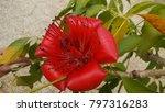 bombay ceiba flower or red silk ... | Shutterstock . vector #797316283