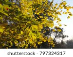 Yellow Leaves On Chestnut Tree...