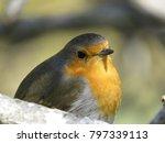 european robin  erithacus... | Shutterstock . vector #797339113