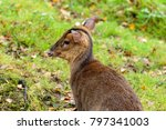 Small photo of Muntjacs, also known as barking deer and Mastreani deer, are small deer of the genus Muntiacus. Muntjacs are the eldest deer, thought to have begun appearing 15–35 million years ago.