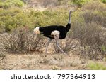 male somali ostrich walking... | Shutterstock . vector #797364913