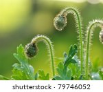 Poppy Flower Buds With Water...