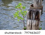 young mangrove plant growing... | Shutterstock . vector #797463637