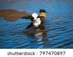 an australian shelduck  tadorna ... | Shutterstock . vector #797470897