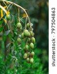 Small photo of Hog plums (Wild mango, Spondias pinnata, Spondias dulcis, Ambarella fruit) on tree in the garden at Vietnam