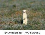 stoat  mustela erminea  short... | Shutterstock . vector #797580457