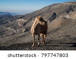 mountain goat standing on the... | Shutterstock . vector #797747803