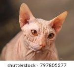 sphynx cat grisa | Shutterstock . vector #797805277