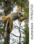 diademed sifaka   propithecus... | Shutterstock . vector #797812723
