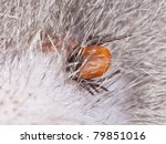 Tick feeding on cat, extreme close up with high magnification - stock photo