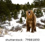 roaring grizzly on winter hill | Shutterstock . vector #79881850