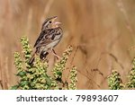 Small photo of Threatened Grasshopper Sparrow (Ammodramus savannarum) singing on a plant stalk