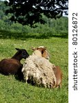 Small photo of Shedding hair sheep on family farm, Webster County, West Virginia, USA. Sheep breed is Katahdin and Barbados Blackbelly mix.