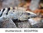 Close Up View Of An Iguana In...