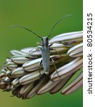 Small photo of Longhorn beetle Phytoecia geniculata on a plant
