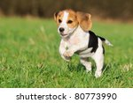 Stock photo cute beagle puppy months running happy over the meadow 80773990