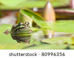 Edible Frog In A Lake In Germany
