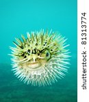 Long Spine Porcupinefish Also...