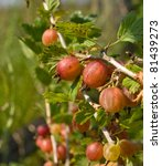 Gooseberries On A Branch Close...