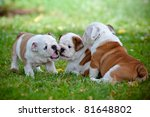 Stock photo english bulldog puppies playing together 81648802